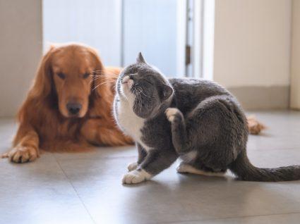 Razões para o animal não parar de se coçar