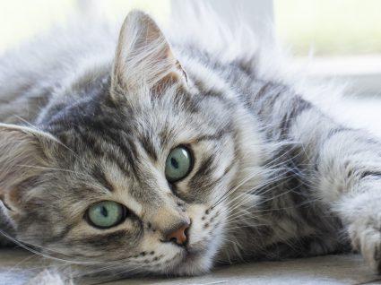 4 Formas de prevenir as bolas de pelo nos gatos
