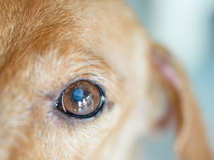 Sabia que também existem cataratas nos cães? Informe-se sobre esta patologia