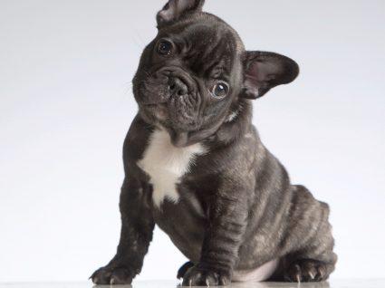 Todos os cuidados a ter com cães braquicefálicos: fique atento!