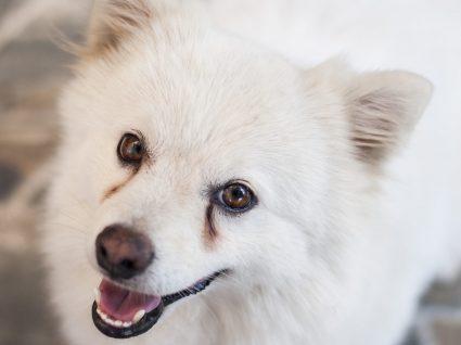 Lágrima ácida em cães: sintomas e tratamento