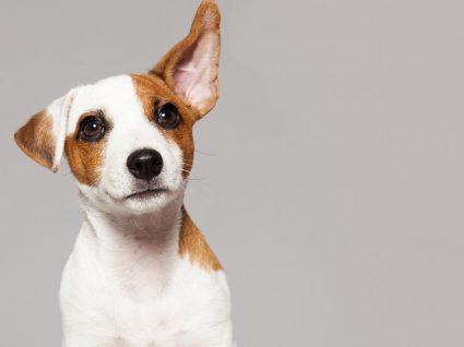 Otite canina: como pode prevenir este problema frequente?
