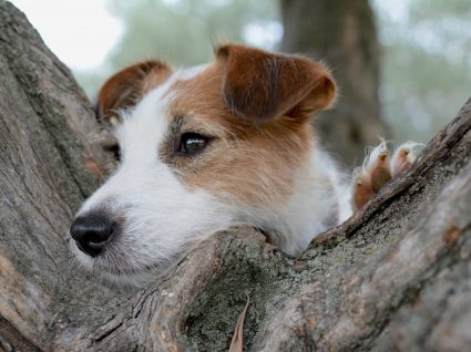 Dirofilariose Canina: consequências e prevenção na saúde do seu cão
