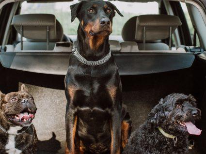 Transporte de cães em automóveis: 3 formas de andar com o seu cão seguro e sem apanhar multa