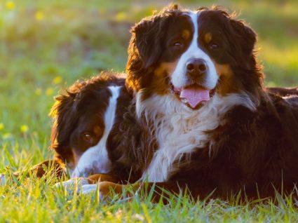 Grupo 2 - Cães de tipo Pinscher e Schnauzer, Molossóides e Cães de Montanha, e Boieiros Suíços
