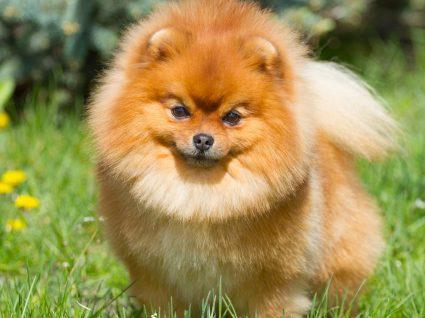 Grupo 5 – Cães tipo Spitz e do tipo Primitivo