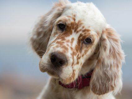 Grupo 7 – Cães de parar