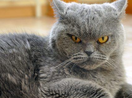 Como lidar com um gato agressivo: tudo o que deve e não deve fazer