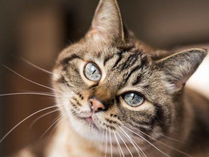 Feromonas para gatos: o que são e como utilizar