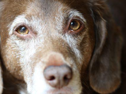 Vitiligo em cães: em que consiste este transtorno?