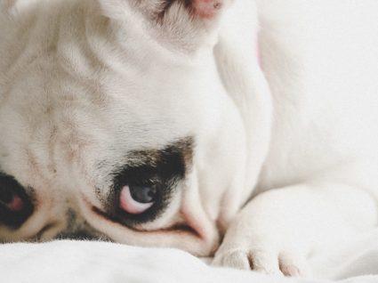 Gravidez psicológica em cadelas: reconheça os sinais e saiba o que fazer