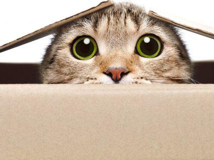 Porque é que os gatos adoram caixas? Conheça 6 motivos!