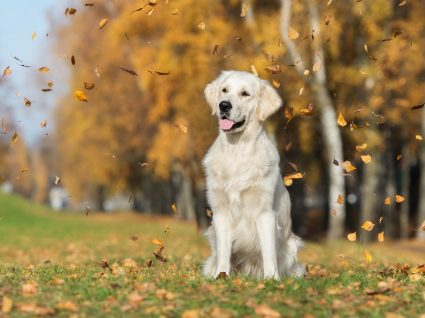 Queda de pelo do cão: porque acontece com frequência?