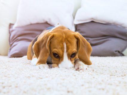 Problemas renais em cães: sintomas, diagnóstico e tratamento