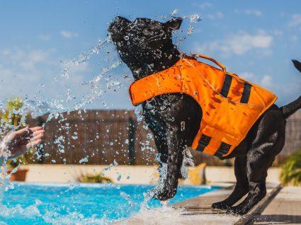 Cães que não nadam bem: conheça as raças com menos aptidão para a natação