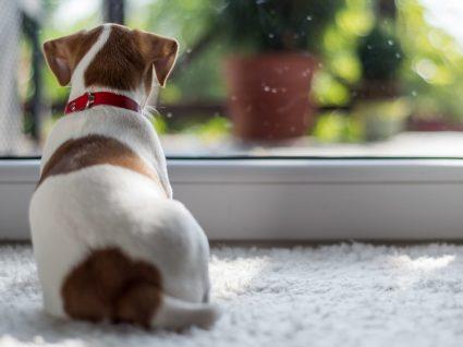 Síndrome de ansiedade de separação em cães: como detetar e o que fazer?