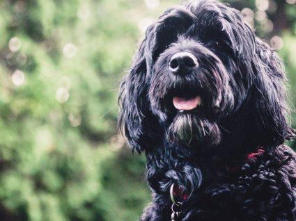 Cães de raça portuguesa: conheça 11 raças com origem no nosso país