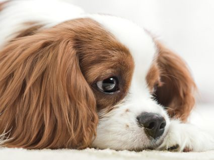 Como identificar que o cão está com dor? Conheça os sinais!