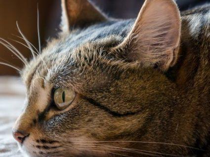 Como identificar que o gato está com dor: conheça os sinais mais comuns