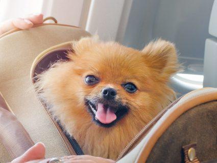 Transporte de cães nos aviões: é possível viajar com o seu melhor amigo?