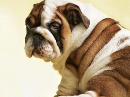 Cortar cauda e orelhas do cão sem motivo médico é crime: conheça a legislação