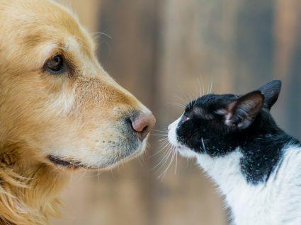 Poderão ser os cães e gatos dadores de sangue? Saiba a resposta a esta questão