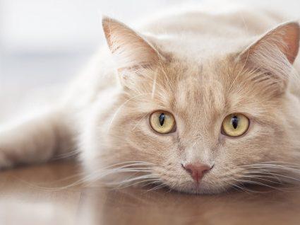 Vírus da Imunodeficiência Felina: saiba mais sobre esta doença nos gatos