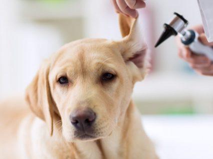 Otite nos cães: causas, tratamento e prevenção da doença