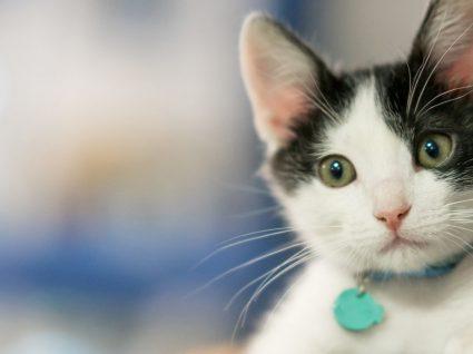10 Sintomas de infeção urinária em gatos: descubra quais são