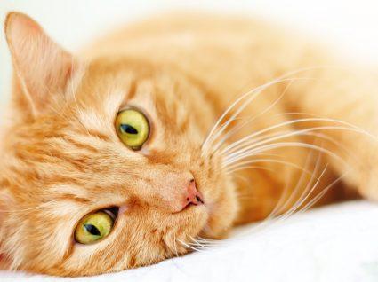 Cálculos urinários em gatos: conheça os sintomas e saiba como evitar este problema