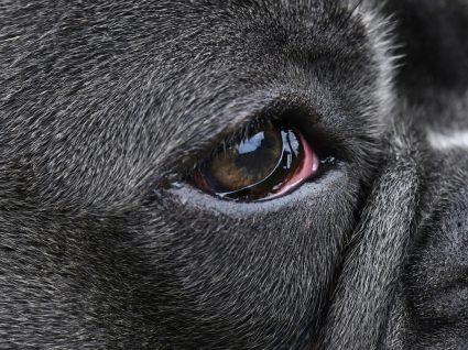 9 Causas de conjuntivite no cão: saiba quais são