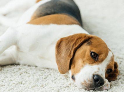 Otohematoma em cães: saiba quais as causas deste problema