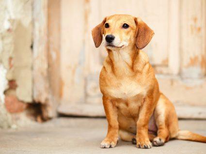 Sarna sarcóptica em cães: o que é, sintomas, diagnóstico e tratamento