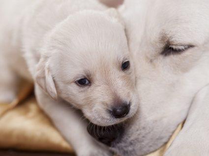 Sarna demodécica: saiba tudo sobre esta doença de pele nos cães