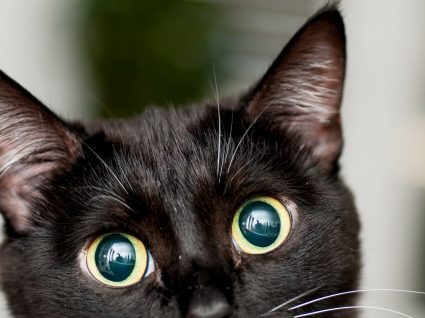 7 Sintomas de conjuntivite no gato: saiba distinguir quais são