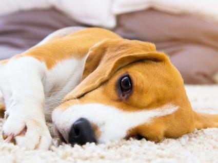 Giardia em cães: os sintomas mais comuns e tratamento desta doença