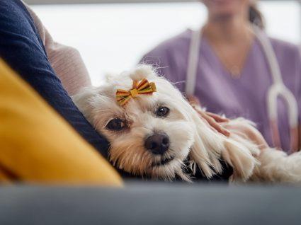 Cistite em cães: conhece esta doença?