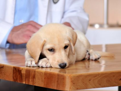 Coronavirose: a gastroenterite contagiosa dos cães