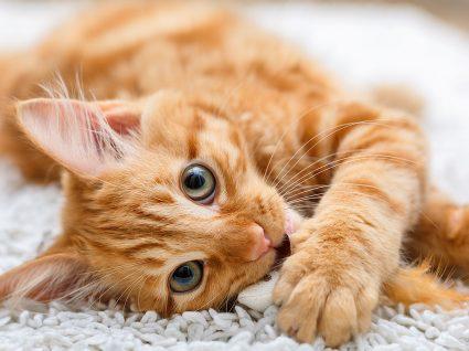 Panleucopenia em gatos: saiba tudo sobre esta doença