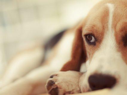 Hepatite infeciosa canina: dos sintomas ao diagnóstico