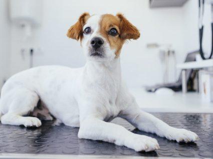 Dermatofitose em cães: conheça esta doença de pele