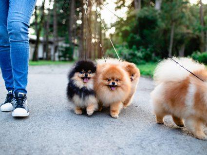 8 consequências de puxar muito a coleira do seu cão