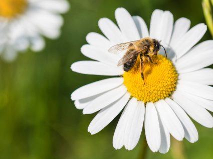 Aprenda a atuar corretamente em caso de picadas de abelhas