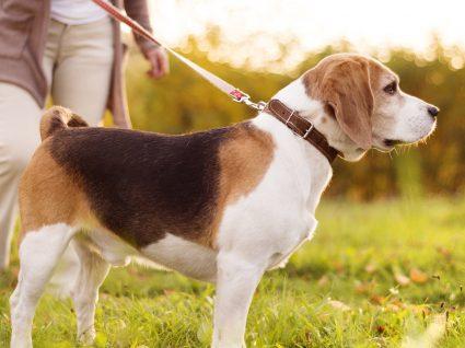 Deve passear o cão antes ou depois de comer?