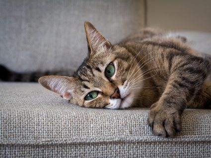 8 dicas para o gato não arranhar o sofá