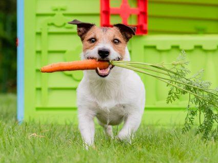 Dieta vegetariana em cães: quais as consequências desta alimentação?