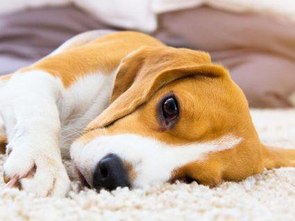 Gastroenterite em cães: sintomas a estar atento e como prevenir