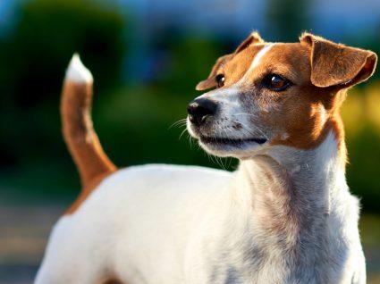 O que a cauda do seu cão lhe diz? Conheça a linguagem dos cães