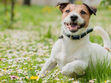 Alergia em cães: dos sintomas ao tratamento