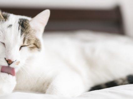10 sinais de alergia em gatos: cuide do seu melhor amigo